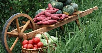 饮食常识:红薯在冬天千万不能乱吃