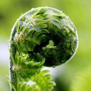 【蕨菜的营养价值】蕨菜的功效与作用