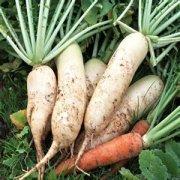【白萝卜和胡萝卜能一起吃吗】白萝卜的食疗功效_白萝卜的做法大全