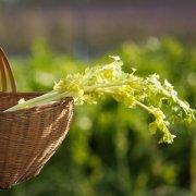 【芹菜的营养价值】芹菜的功效_芹菜的营养价值及功效