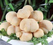【猴头菇能治胃病吗】猴头菇怎么吃_猴头菇多少钱一斤