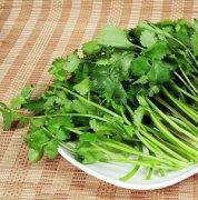 【香菜的功效与作用】香菜的功效_香菜的营养价值