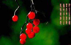 红豆生南国中的红豆是什么豆?