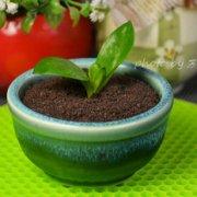 瓷罐酸奶盆栽的做法