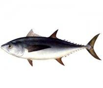 【金枪鱼的做法】金枪鱼的营养价值_孕妇能吃金枪鱼吗