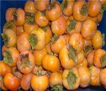 【柿子吃多了好吗】柿子的功效与作用_柿子不能和什么同吃