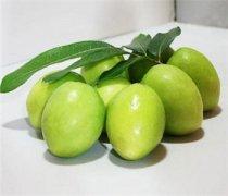 【枣子的功效与作用】青枣子的品种分类_青枣子的食用禁忌
