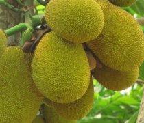 【菠萝蜜和蜂蜜】菠萝蜜不能和蜂蜜一起吃吗_菠萝蜜和蜂蜜能不能一起
