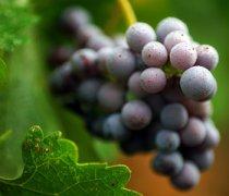 【吃葡萄上火吗】葡萄的营养价值_孕妇可以吃葡萄吗