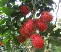 【红毛丹的营养价值】红毛丹的功效与作用_红毛丹孕妇能吃吗